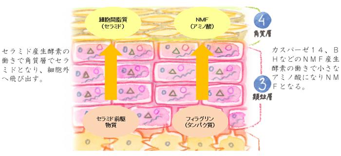 セラミド産生酵素という酵素の働きによって、角質層でセラミドに